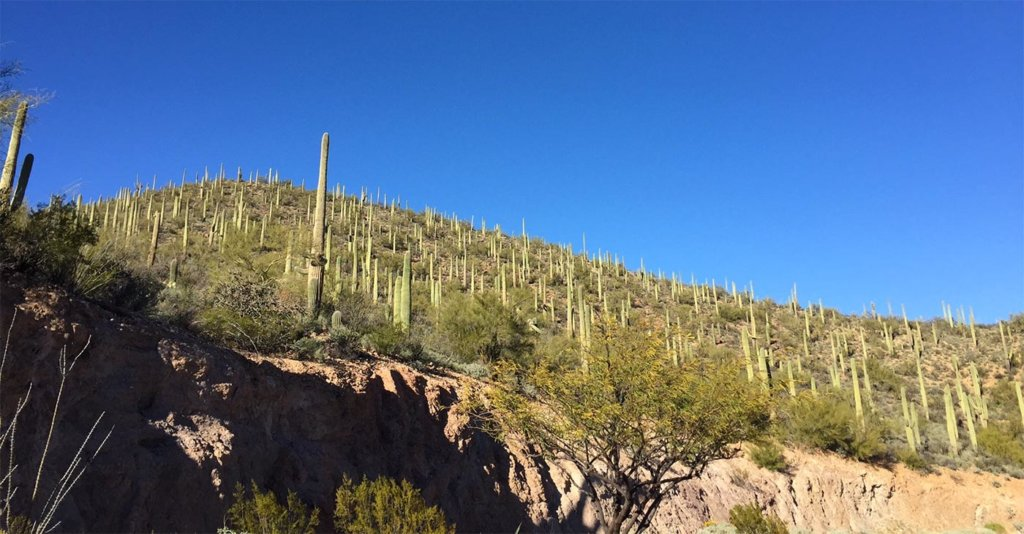 Cactus on a hill in Tucson